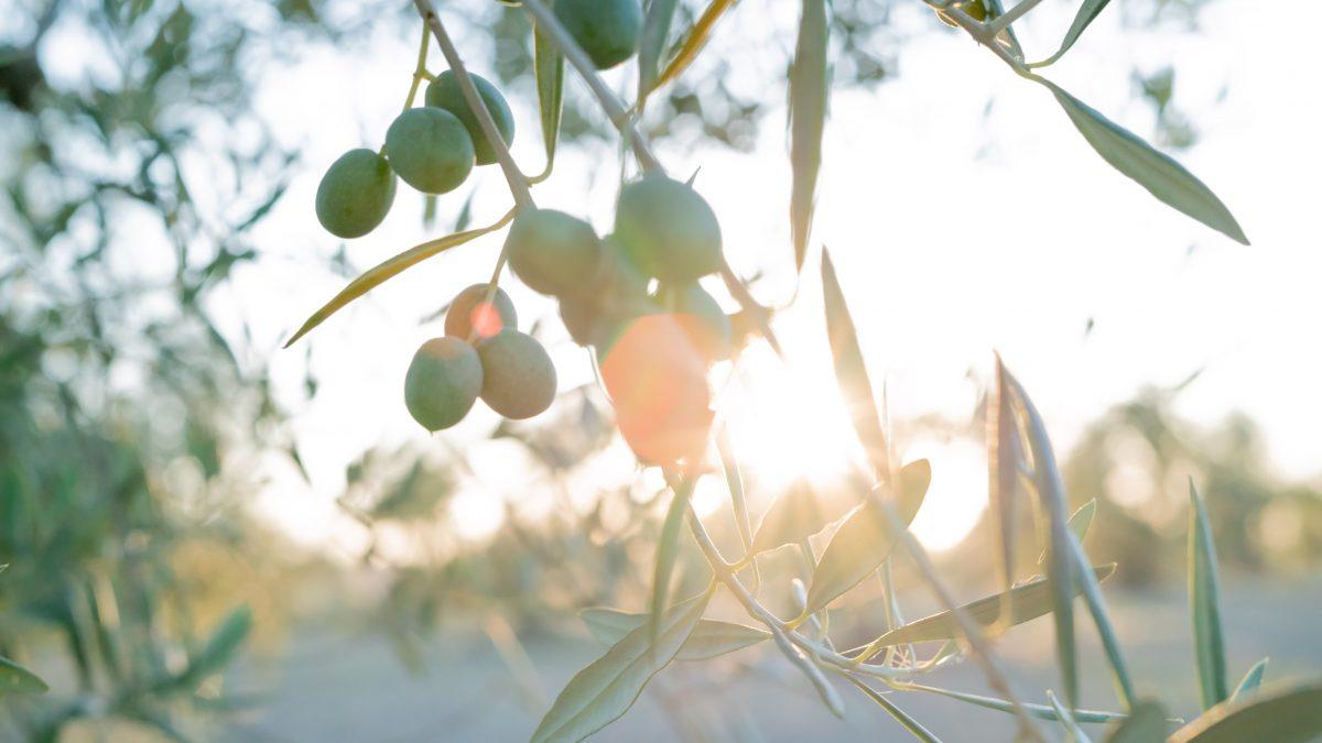 Aceitunas en el árbol en un olivar.